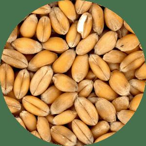 corn-r